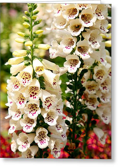 White Fox Gloves Greeting Card