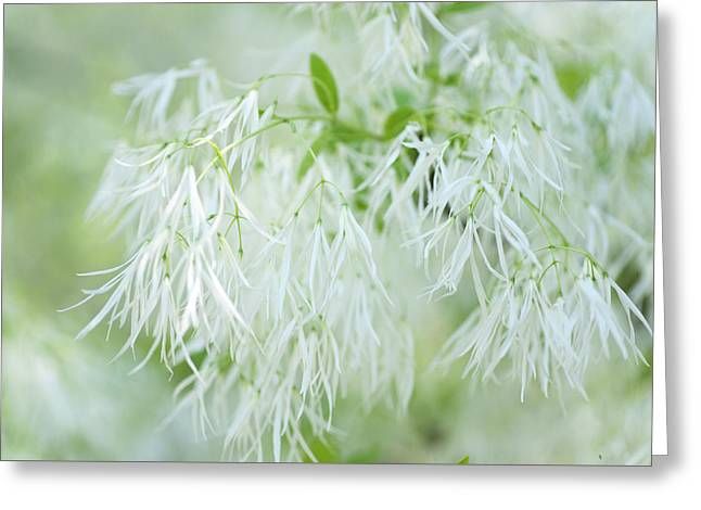 White Fringetree Greeting Card