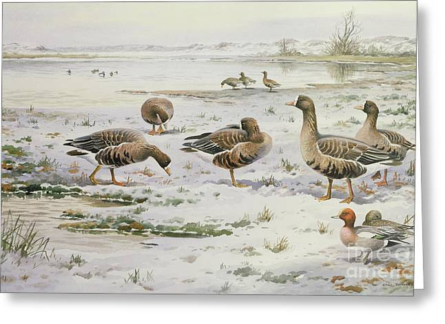 White Fronted Geese Greeting Card by Carl Donner