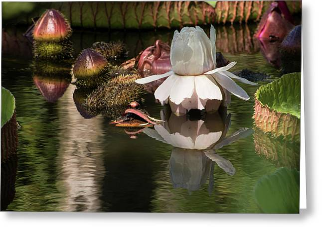 White Giant Water Lily Greeting Card by Zina Stromberg