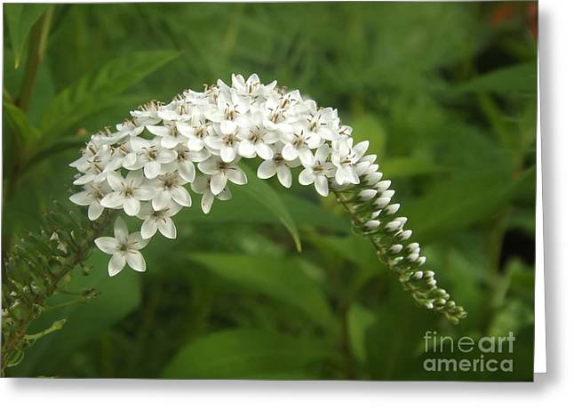 White Gooseneck Loosestrife Greeting Card