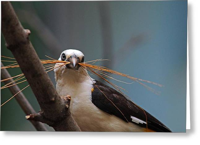 White-headed Buffalo Weaver Greeting Card