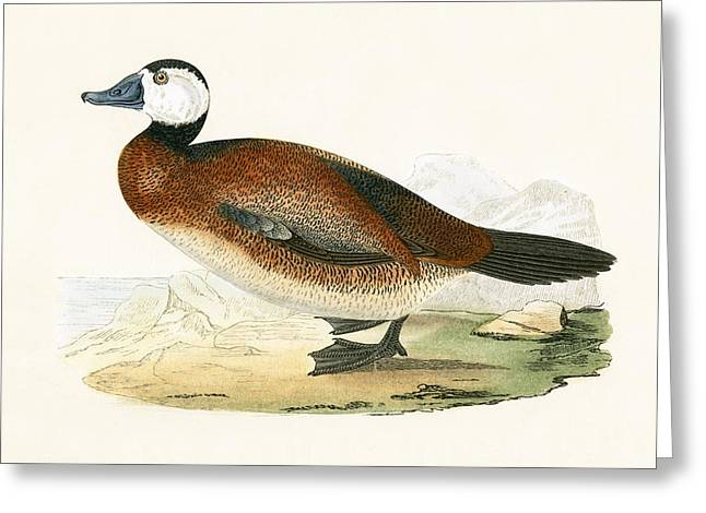 White Headed Duck Greeting Card by English School