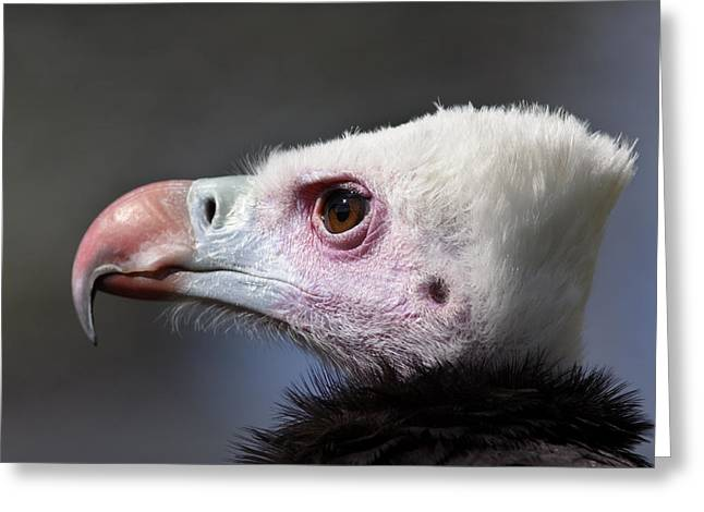 White-headed Vulture Portrait Greeting Card