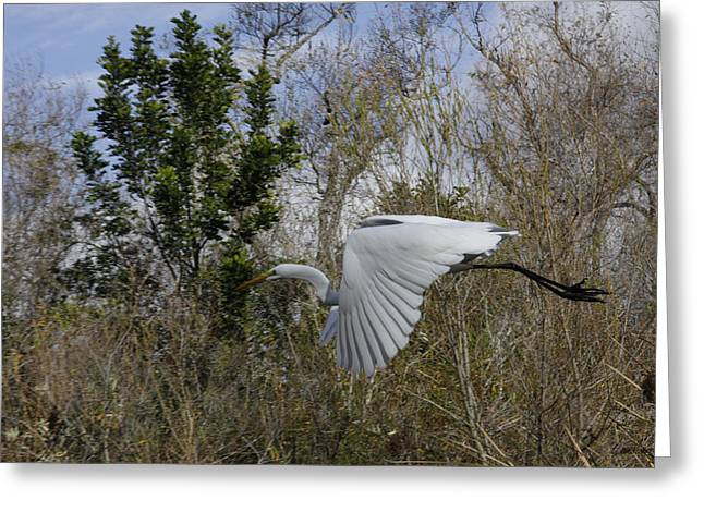 White Heron In Flight Greeting Card by Diana Haronis