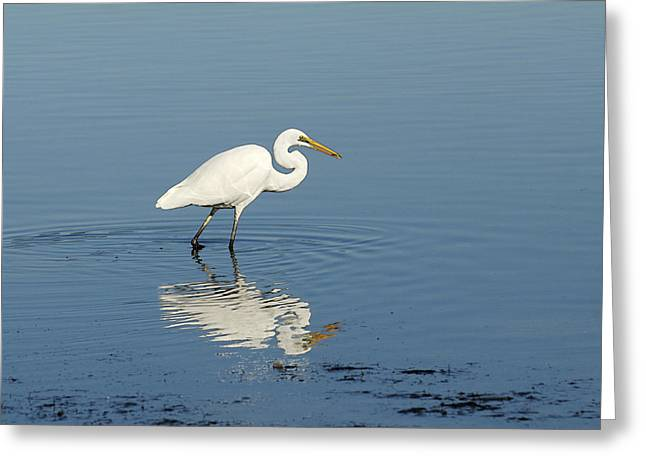 White Heron Reflected Greeting Card by Barry Culling