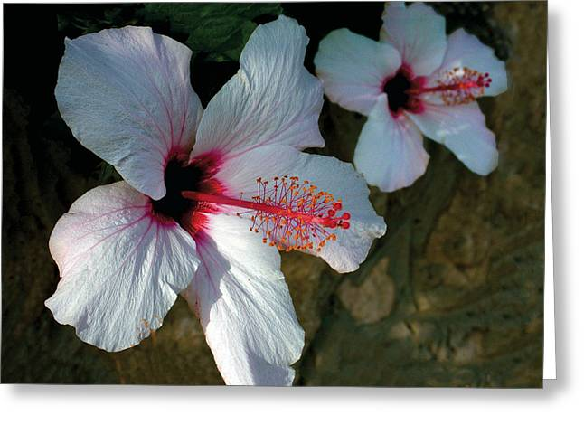 White Hibiscus Pair Greeting Card