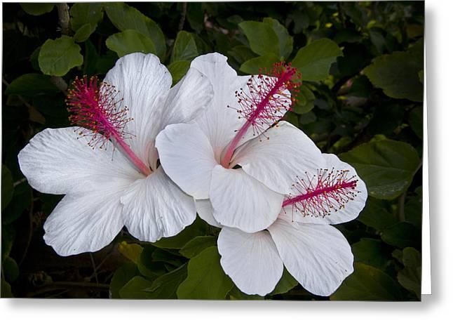 White Hibiscus Trio Greeting Card