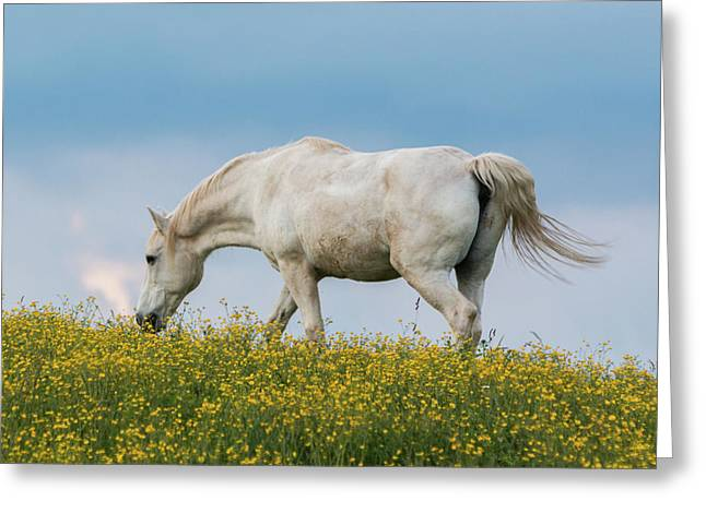 White Horse Of Cataloochee Ranch 2 - May 30 2017 Greeting Card