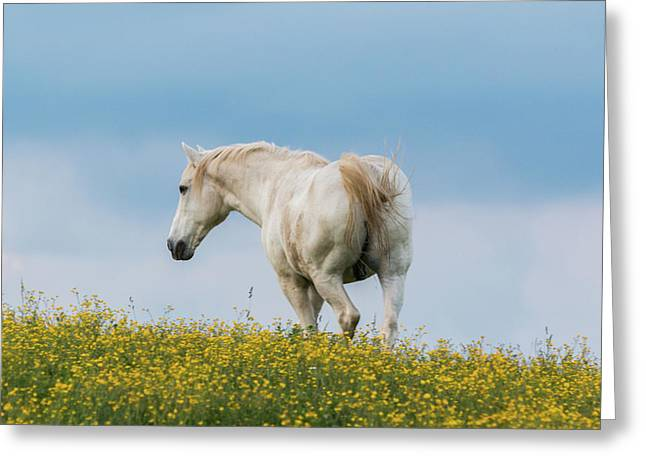 White Horse Of Cataloochee Ranch - May 30 2017 Greeting Card