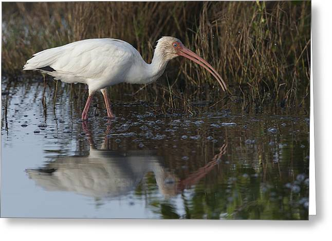 White Ibis Feeding Greeting Card