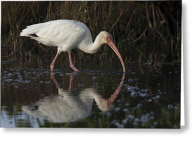White Ibis Feeding In Morning Light Greeting Card