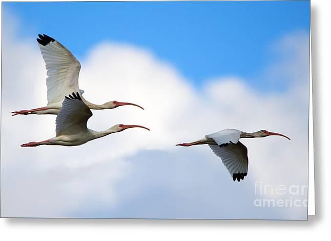 White Ibis Flock Greeting Card