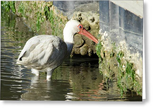White Ibis Headed Home Greeting Card by George Randy Bass