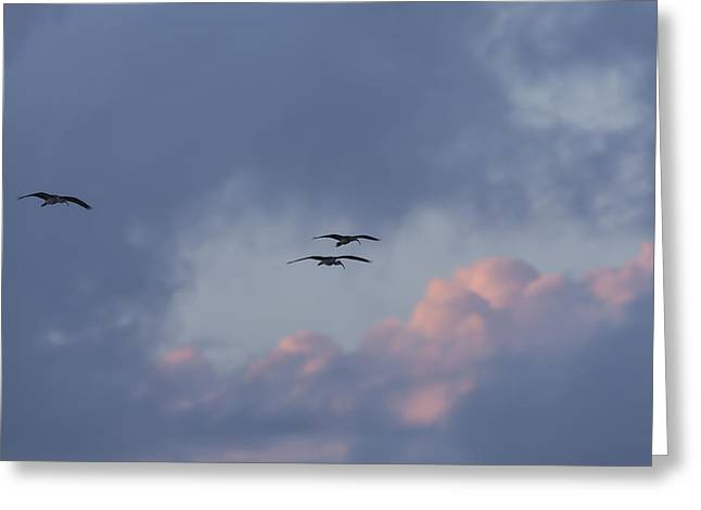 White Ibis In Flight At Sunset Greeting Card