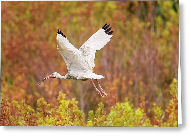 White Ibis In Hilton Head Island Greeting Card