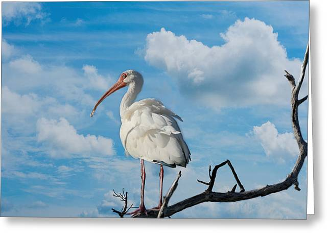 White Ibis Greeting Card by Kim Hojnacki