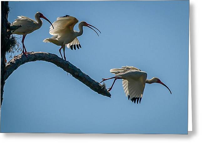 White Ibis Takeoff Greeting Card by Tom Claud