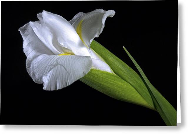 Greeting Card featuring the photograph White Iris II by Elsa Marie Santoro