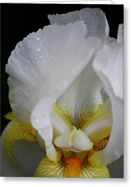 White Iris Study No 5 Greeting Card by Teresa Mucha