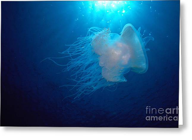 White Jellyfish Greeting Card by Dave Fleetham - Printscapes