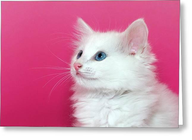 White Kitten On Pink Greeting Card