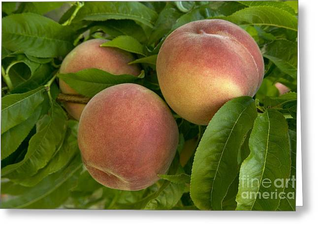 White Lady Peaches On A Branch Greeting Card by Inga Spence