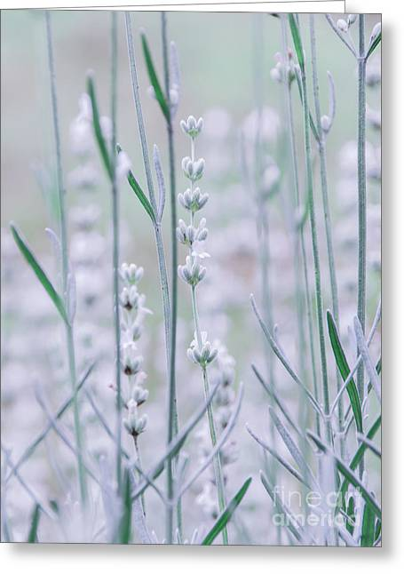 Greeting Card featuring the photograph White Lavender  by Andrea Anderegg