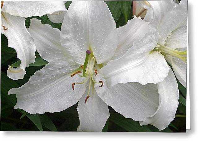 Flora And Fauna Greeting Cards - White Lily Greeting Card by Aidan Moran