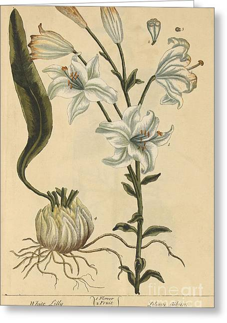 White Lily, Medicinal Plant, 1737 Greeting Card