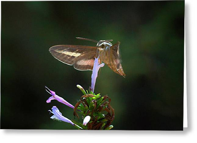 White -lined Sphinx Moth Pollenating A Flower Greeting Card