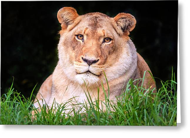 Greeting Card featuring the photograph White Lion by Alexey Stiop