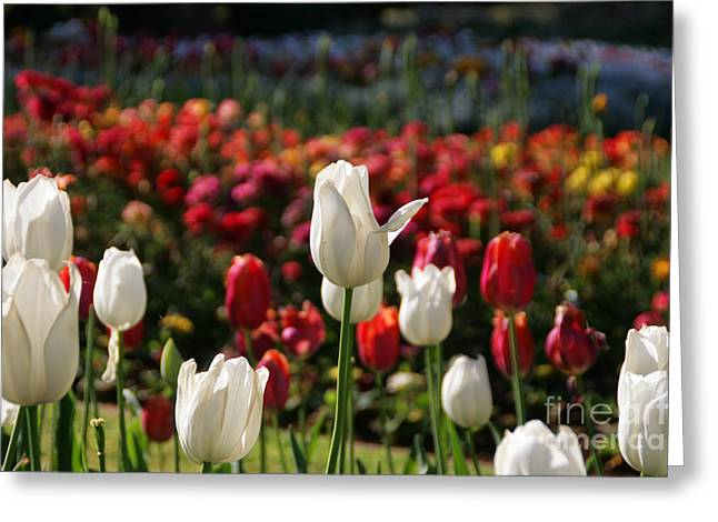 White Lit Tulips Greeting Card