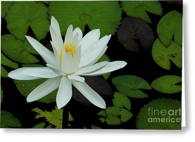 Sami Sarkis Photographs Greeting Cards - White Lotus flower Greeting Card by Sami Sarkis