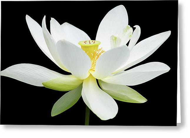White Lotus On Black Greeting Card
