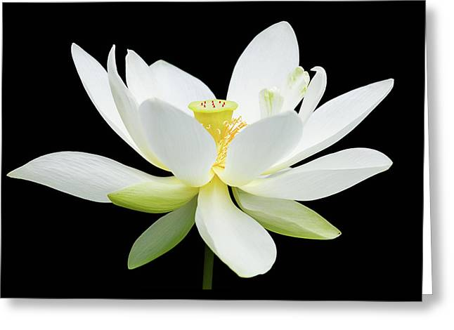 White Lotus On Black Greeting Card