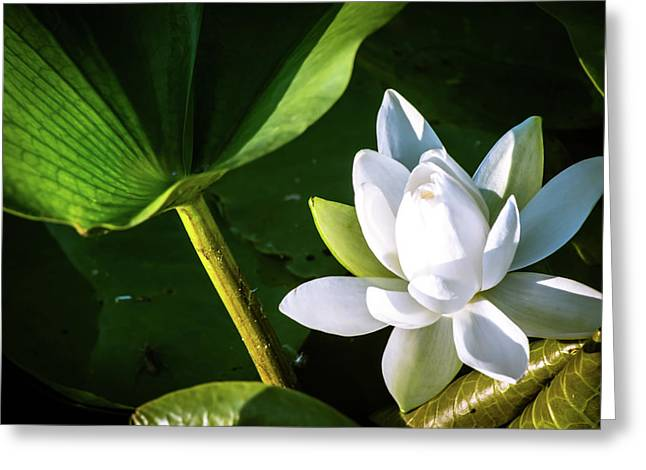 White Lotus Greeting Card by Rosette Doyle
