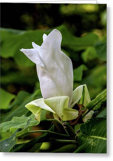 White Magnolia Bloom Greeting Card by John Haldane
