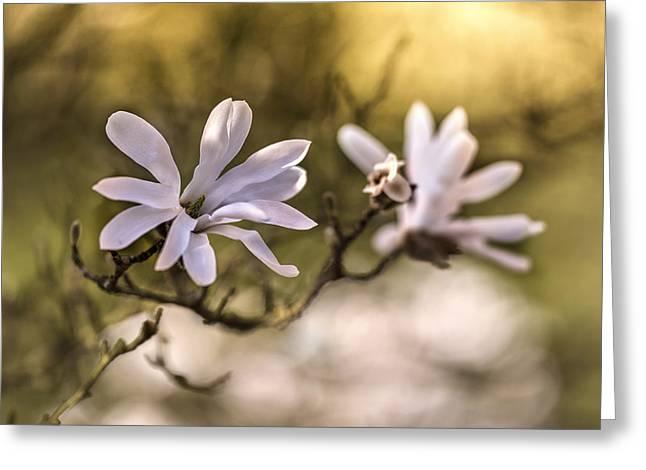 White Magnolia Greeting Card