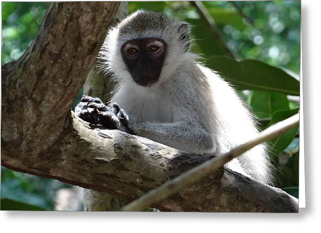 White Monkey In A Tree 4 Greeting Card