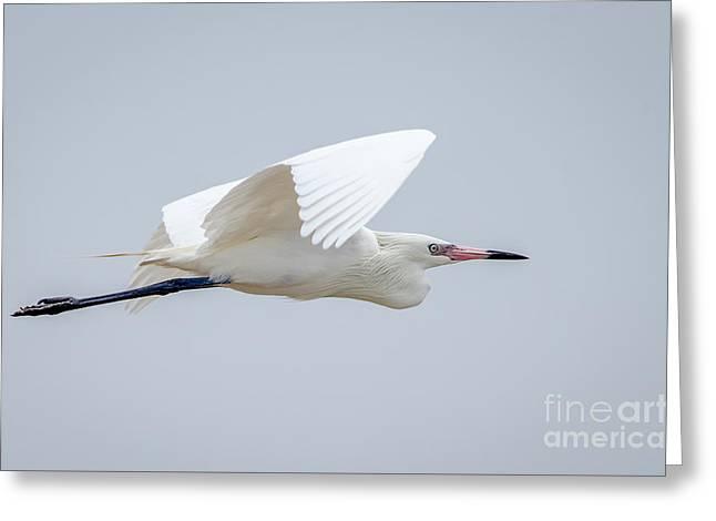 White Morph Reddish Egret Greeting Card