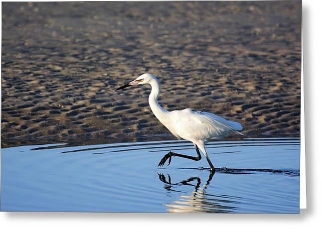 White Morph Reddish Egret Greeting Card by Don Columbus