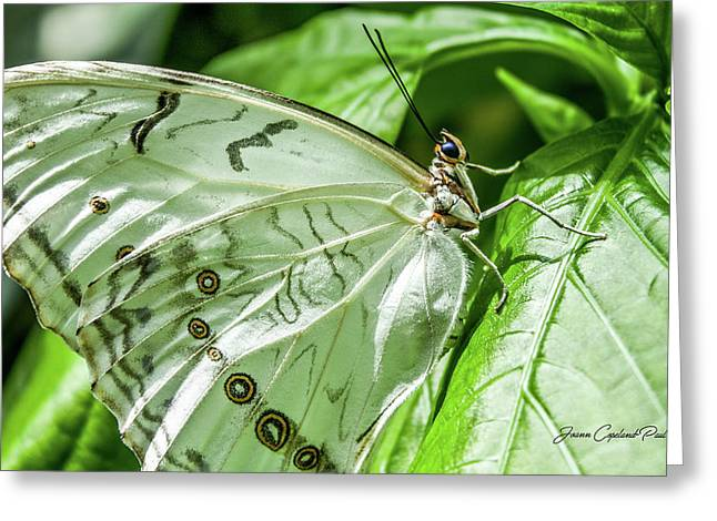 White Morpho Butterfly Greeting Card