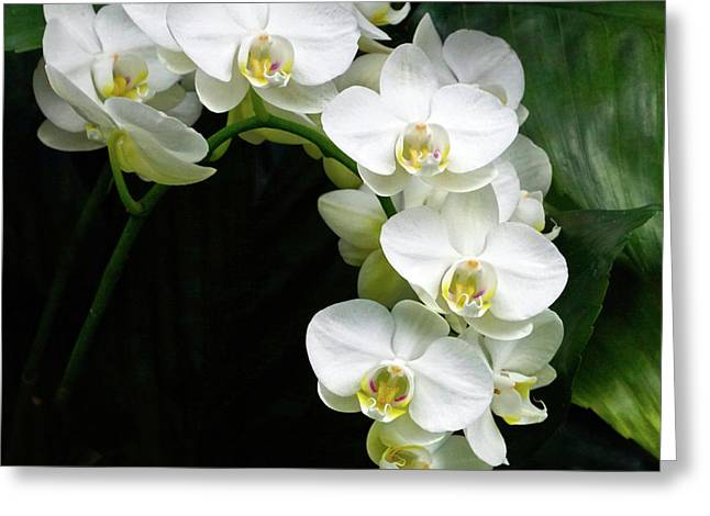White Moth Orchid Array Greeting Card by Byron Varvarigos