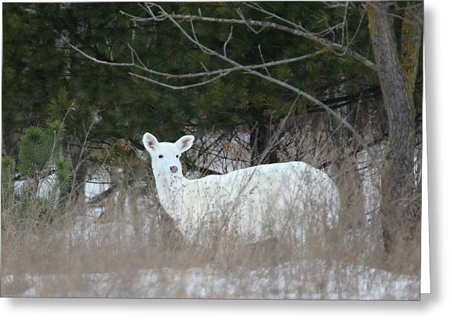 White Nub Buck Greeting Card by Brook Burling