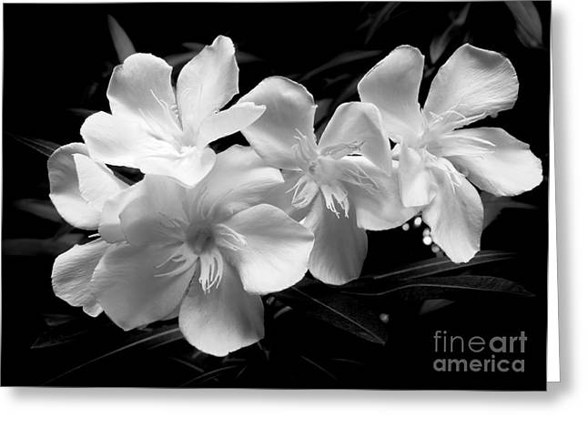 White Oleander Greeting Card by Amar Sheow