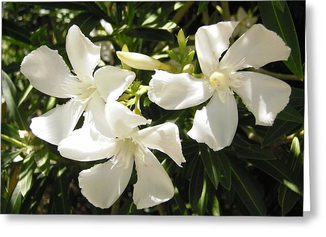 White Oleander Flowers Greeting Card by Stephanie Moore