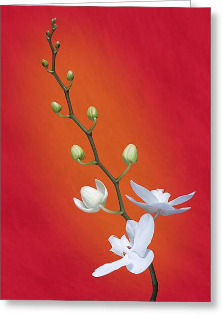 White Orchid Buds On Red Greeting Card by Tom Mc Nemar