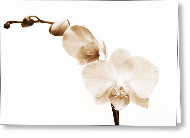 White Orchid Greeting Card by Mindy Sommers