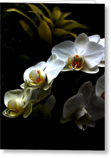 Botany Greeting Cards - White orchid with dark background Greeting Card by Jasna Buncic